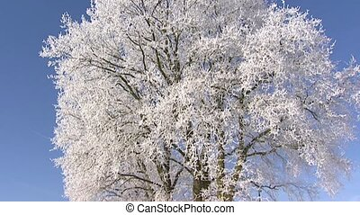 tree white frost blue sky tilt up - Frozen deciduous tree...