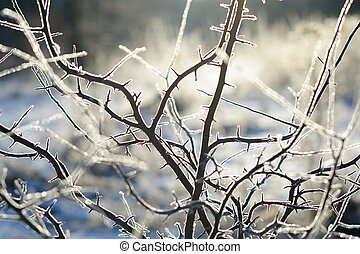 Wild plum branches in winter rime frost