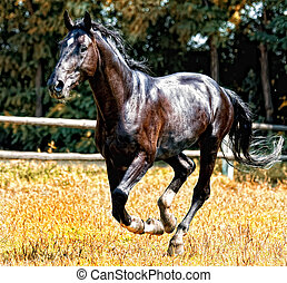 Black horse galloping