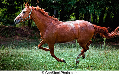 Brown horse running