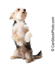 Charming dog sitting on its hind legs isolated on white...
