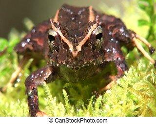 Appendiculate rain frog Pristimantis appendiculatus - In...