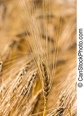 barley field before harvest