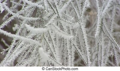 branches hoarfrost cu zoom out - Severe winter - Shrub...