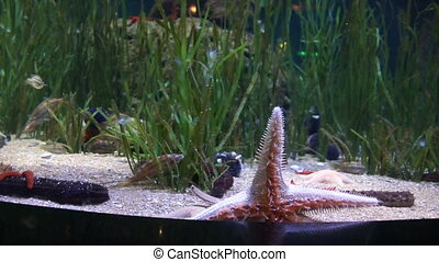Big red starfish crawling on glass - Big red starfish...