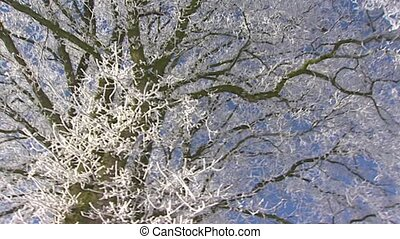 tree in frost against blue sky pan - Deciduous tree in frost...