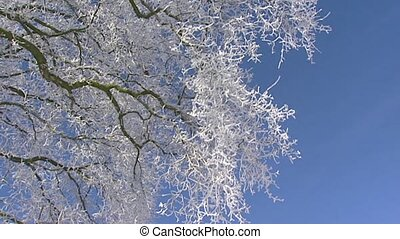Deciduous tree in frost   blue sky