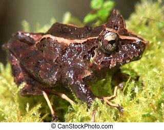 Appendiculate rain frog Pristimantis appendiculatus - Zoom...