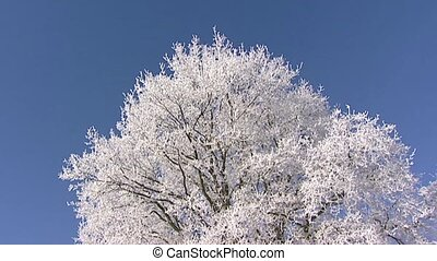 Treetop of deciduous tree covered with rime - low angle pan...