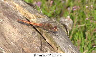 Dragonfly, common darter resting on log in sunshine. The...