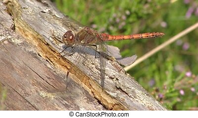 Dragonfly common darter sunbathing on log in + dropping