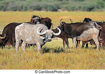 africaine, buffles,