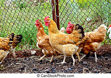 Brown chicken in pen with mesh - Several brown chicken on a...