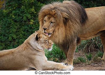 獅子, 修飾, 雌獅