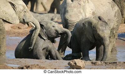 Playful African elephant calves Loxodonta africana splashing...