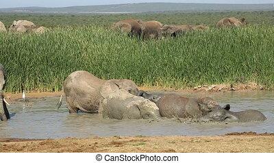 Playful African elephants - African elephants Loxodonta...
