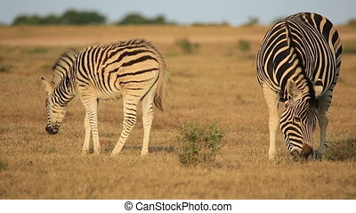 Plains zebra with foal - Plains zebra Equus burchelli mare...