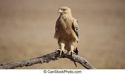 Tawny eagle - A tawny eagle Aquila rapax perched on a...