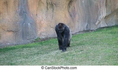 male silverback mountain gorilla - A male silverback...