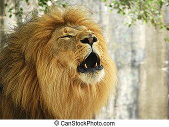 Lion Roaring - Male lion roaring
