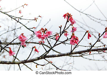 Pink flowers. beautiful cherry blossom ,ChiangMai north of...
