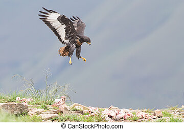 Jackal buzzard landing on rocky mountain in strong wind -...