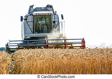 cereal field of wheat at harvest