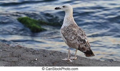 Chick of a seagull - Young seagull standing on the pier....