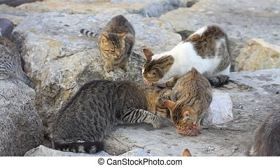 Cats fighting over meat - Hungry young cats eating meat on...