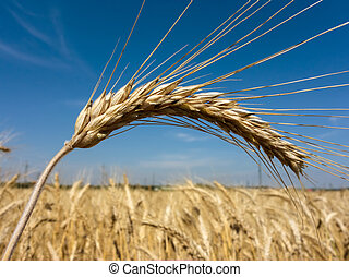 wheat field - a box of cereal wheat just before harvest corn...