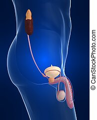 urinary system - 3d rendered illustration of a male body...