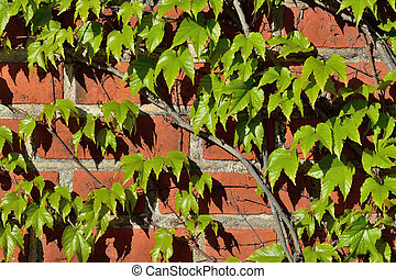 Wild grapes on the ancient wall - Parthenocissus...