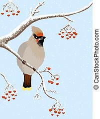 waxwing and rowanberries - Waxwing bird tree branches with...