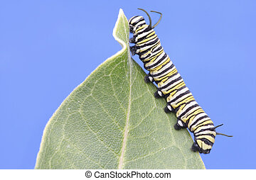 Monarch Butterfly Caterpillar (danaus plexippus) on a...