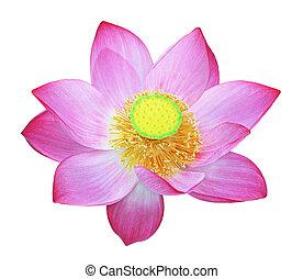 Simply Lotus - Nelumbo nucifera, Indian lotus, sacred lotus,...