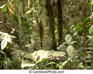 Interior of cloudforest in Ecuador - at 2,400m elevation in...