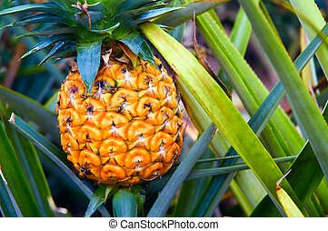 Pineapple plant - A ripe pineapple, on its parent plant
