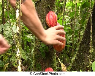 Cocoa pods (Theobroma cacao) - Picking a cocoa pod in a...