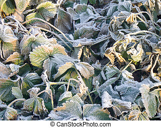 Strawberry Leaves with Hoarfrost - Green strawberry leaves...
