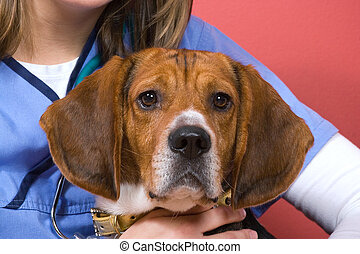 Veterinarian With a Beagle - A veterinarian holding onto a...