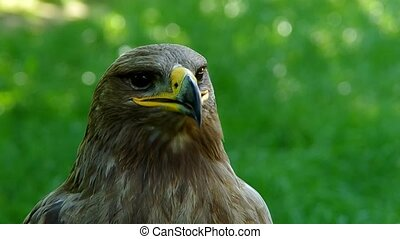 Brown eagle on a green background