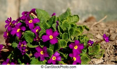 Violet primula in the wind