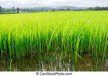 Farmer spraying pesticide on rice field - farmer spraying...
