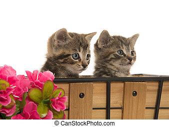 dos, lindo, atigrado, gatitos,