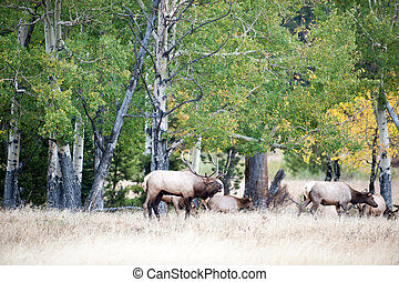 North American elk - Large North American bull elk with...