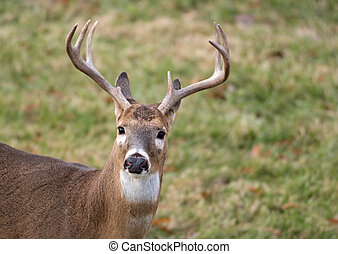 White-tailed deer buck - Large white-tailed deer buck in an...