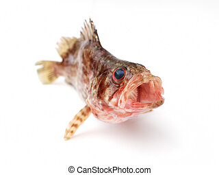 Fresh fish - Fresh red fish on white background
