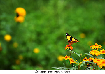 Colorful,yellow  butterfly on yellow  flowers