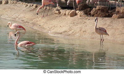 Large pink Flamingo cleans feathers in natural pond in the...