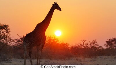 giraffe silhouettes at the sunset - giraffe starts walking...
